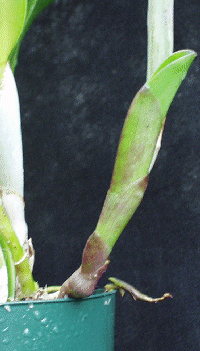 Ready: With a new pseudobulb starting to grow over the pot's side, this Cattleya is ready for repotting.