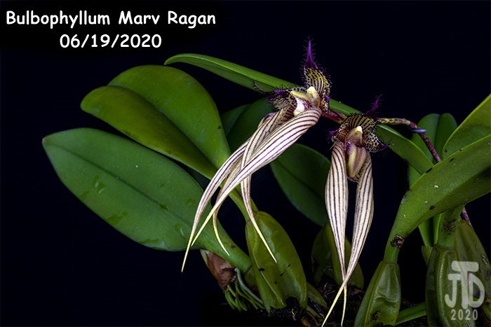 Name:  Bulbophyllum Marv Ragan3 06182020.jpg Views: 73 Size:  134.9 KB