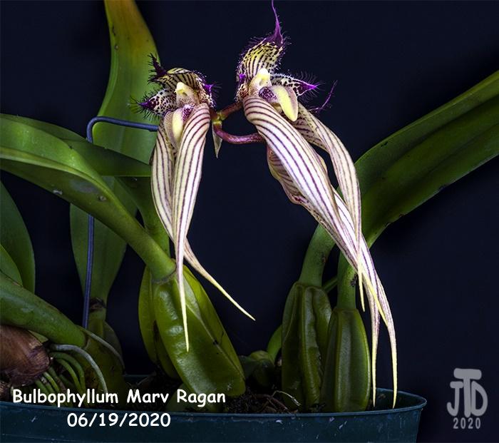 Name:  Bulbophyllum Marv Ragan5 06182020.jpg Views: 66 Size:  150.9 KB