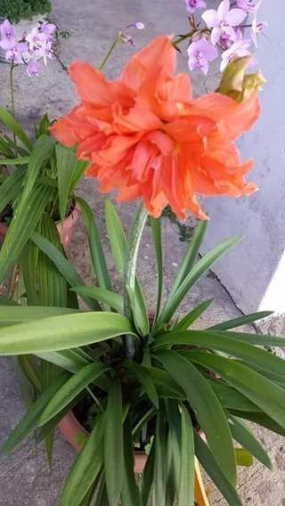 Name:  double Amaryllis Lily.jpg Views: 284 Size:  40.4 KB