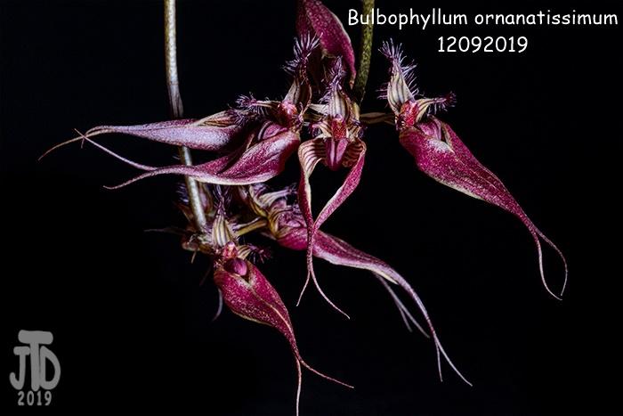 Name:  Bulbophyllum ornanatissimum5 12092019.jpg Views: 62 Size:  100.4 KB