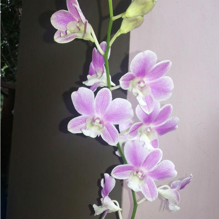 Name:  dendrobium no id new 2 pink.jpg Views: 482 Size:  63.4 KB
