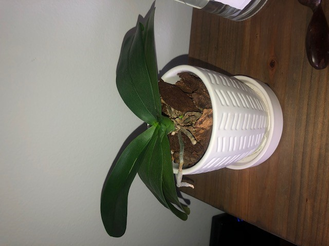 Name:  orchid 3.jpg Views: 43 Size:  61.2 KB