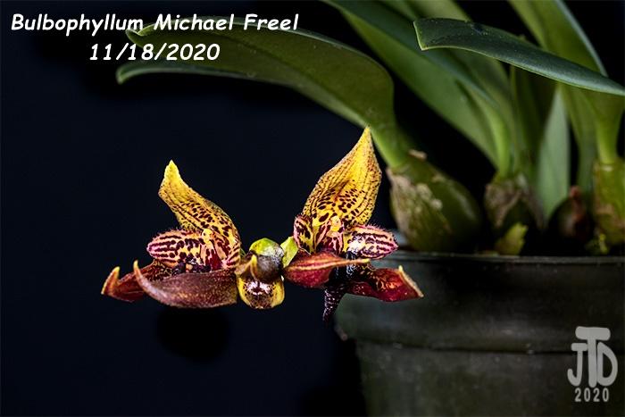 Name:  Bulbophyllum Michael Freel3 11182020.jpg Views: 54 Size:  102.2 KB