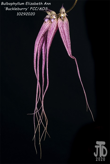 Name:  Bulbophyllum Elizabeth Ann 'Buckleburry'3 10292020.jpg Views: 61 Size:  121.0 KB