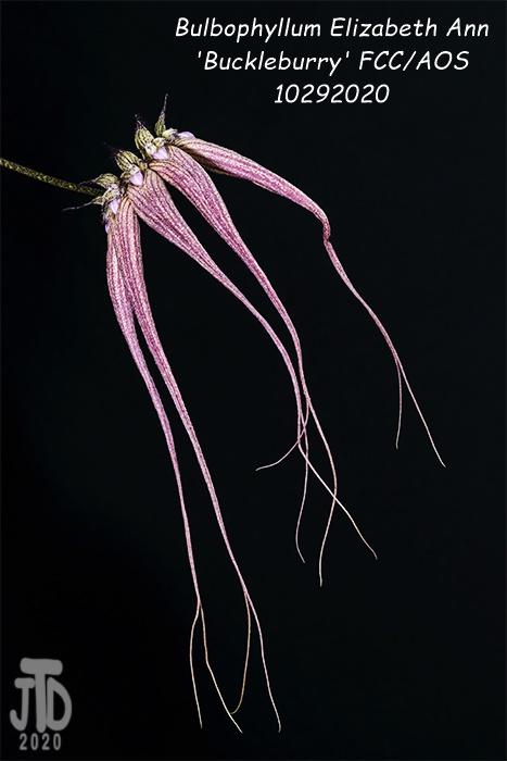 Name:  Bulbophyllum Elizabeth Ann 'Buckleburry'4 10292020.jpg Views: 60 Size:  85.0 KB