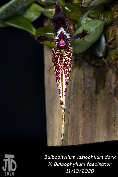 Name:  Bulbophyllum lasiochilum darkxB. fascinator3 11102020.jpg Views: 43 Size:  107.4 KB