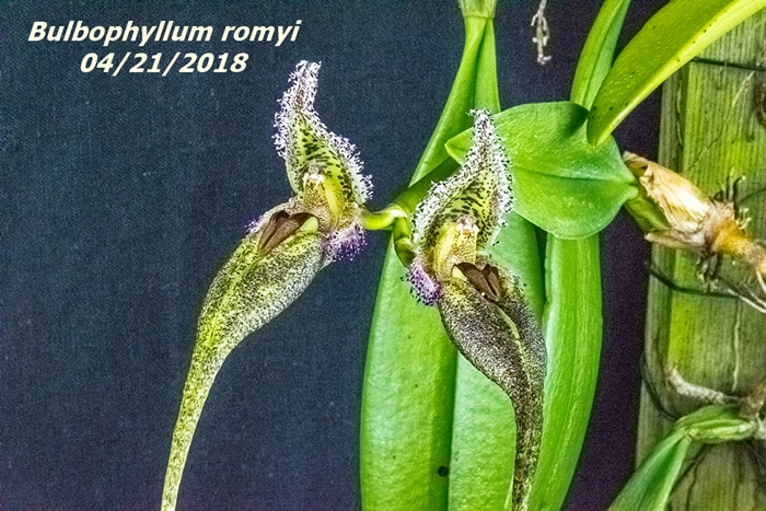 Name:  Bulbophyllum romyi1 100mm 042118.jpg Views: 210 Size:  349.9 KB