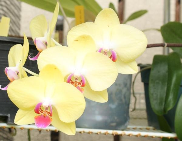Name:  Phal_noid_yellow_crop_6.jpg Views: 60 Size:  69.0 KB