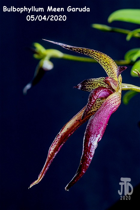 Name:  Bulbophyllum Meen Garuda3 05042020.jpg Views: 44 Size:  110.0 KB