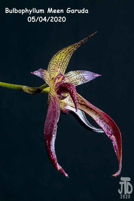 Name:  Bulbophyllum Meen Garuda5 05042020.jpg Views: 42 Size:  117.6 KB