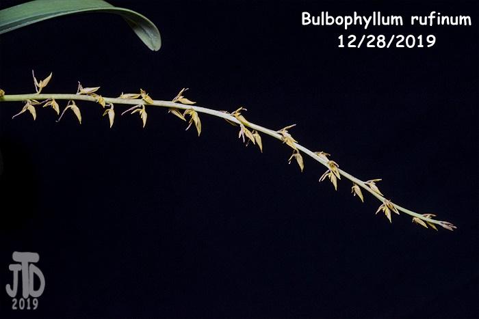 Name:  Bulbophyllum rufinum5 12282019.jpg Views: 47 Size:  92.3 KB