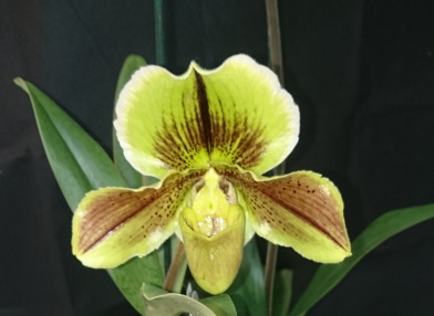 Name:  20191230_Paphiopedilum_Johann_Christian_Wichmann.jpg