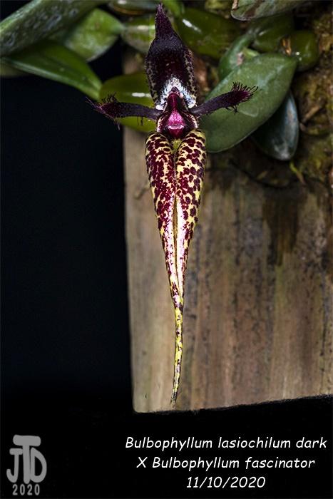Name:  Bulbophyllum lasiochilum darkxB. fascinator3 11102020.jpg Views: 40 Size:  107.4 KB