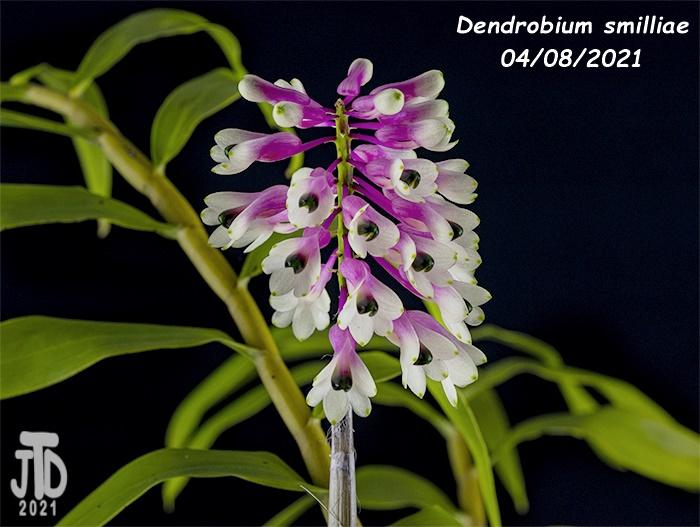 Name:  Dendrobium smilliae4 04082021.jpg Views: 73 Size:  137.6 KB
