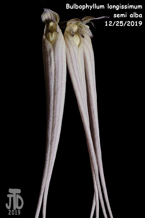 Name:  Bulbophyllum longissimum alba2 12252019.jpg Views: 59 Size:  74.0 KB
