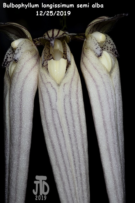 Name:  Bulbophyllum longissimum alba4 12252019.jpg Views: 58 Size:  134.5 KB