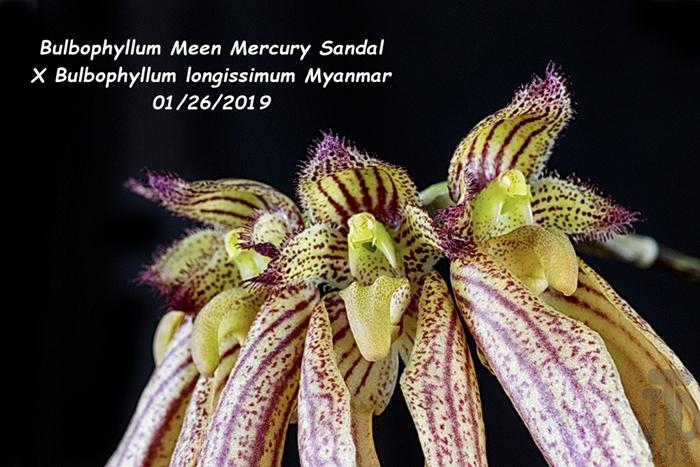 Name:  B. Meen Mercury SandalXB. longissimum Myanmar2 01252019.jpg Views: 115 Size:  293.0 KB