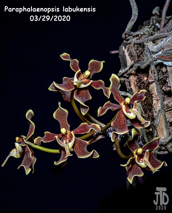 Name:  Paraphalaenopsis labukensis1 03282020.jpg Views: 60 Size:  175.2 KB
