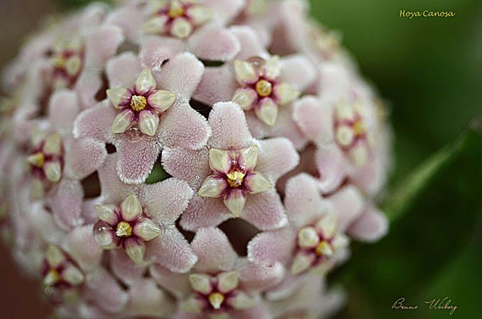 Name:  Hoya Carnosa-macro-orchid site.jpg Views: 91 Size:  69.2 KB