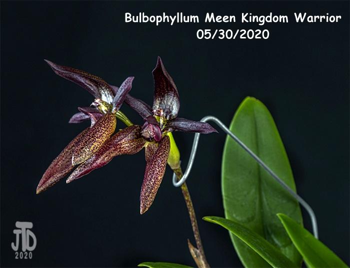 Name:  Bulbophyllum Meen Kingdom Warrior3 05302020.jpg Views: 50 Size:  147.3 KB
