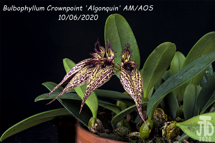 Name:  Bulbophyllum Crownpoint 'Algonquin' AM-AOS4 10062020.jpg