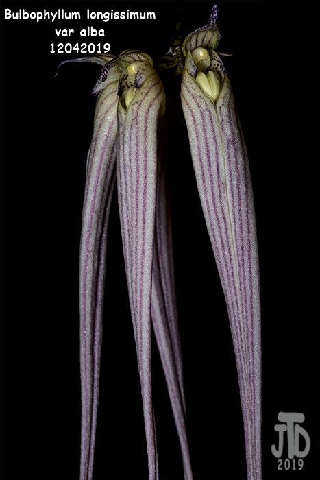 Name:  Bulbophyllum longissimum var alba2 12042019.jpg Views: 85 Size:  93.6 KB