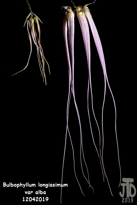 Name:  Bulbophyllum longissimum var alba1 12042019.jpg Views: 44 Size:  106.1 KB