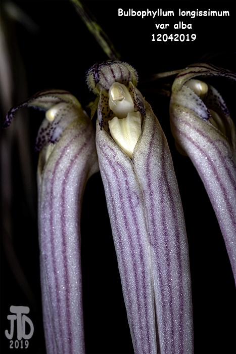 Name:  Bulbophyllum longissimum var alba4 12042019.jpg Views: 45 Size:  124.4 KB