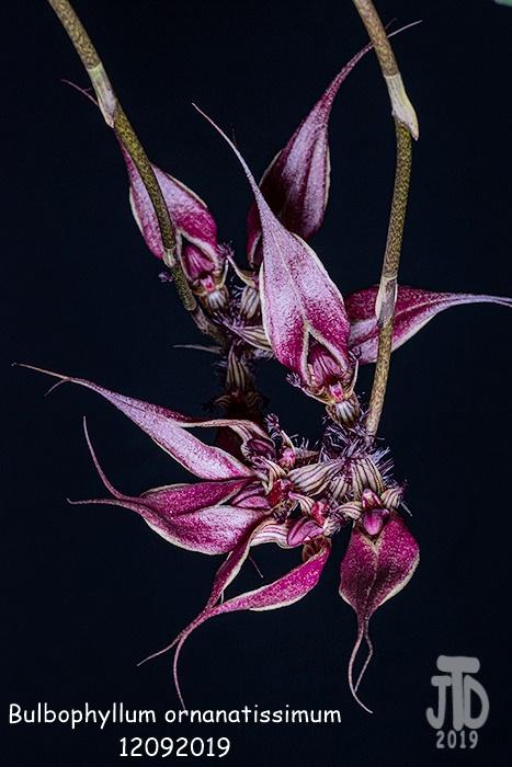 Name:  Bulbophyllum ornanatissimum3 12092019.jpg Views: 51 Size:  138.3 KB