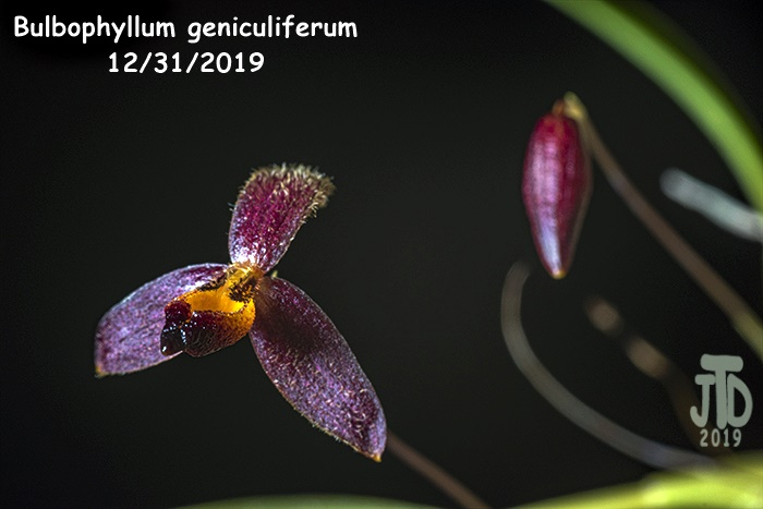Name:  Bulbophyllum geniculiferum1 12312019.jpg
