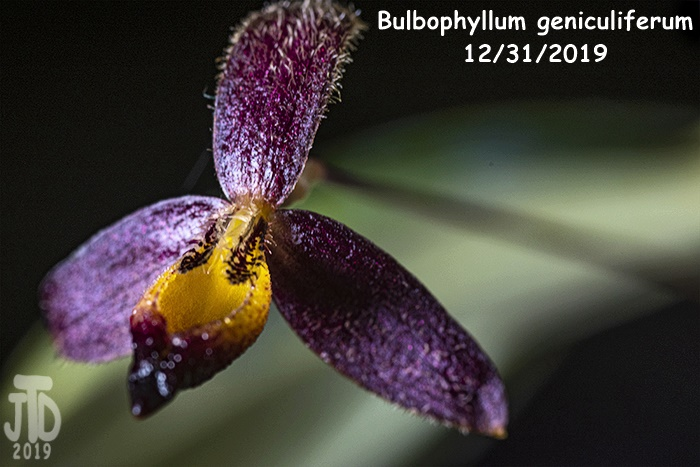 Name:  Bulbophyllum geniculiferum2 12312019.jpg