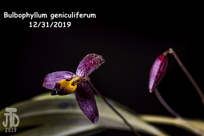 Name:  Bulbophyllum geniculiferum3 12312019.jpg