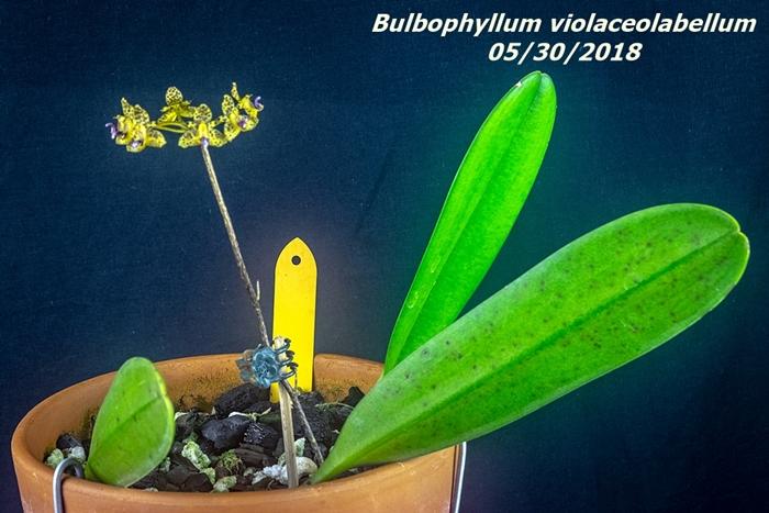 Name:  Bulbophyllum violaceolabellum1 55mm 053018.jpg Views: 188 Size:  277.4 KB