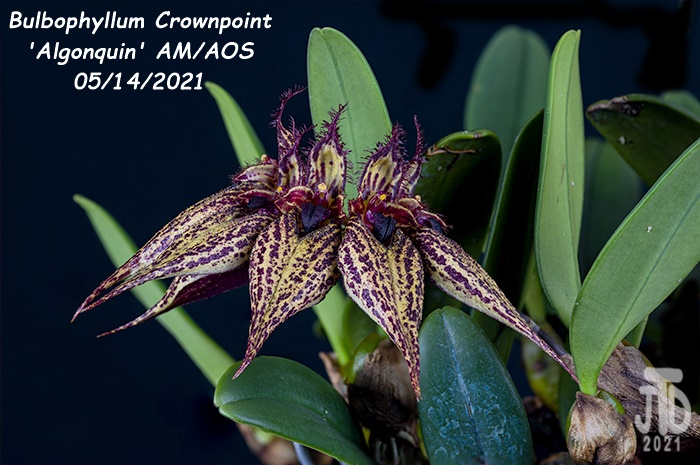 Name:  Bulbophyllum Crownpoint 'Algonquin' AM-AOS4 05152021.jpg Views: 46 Size:  145.4 KB