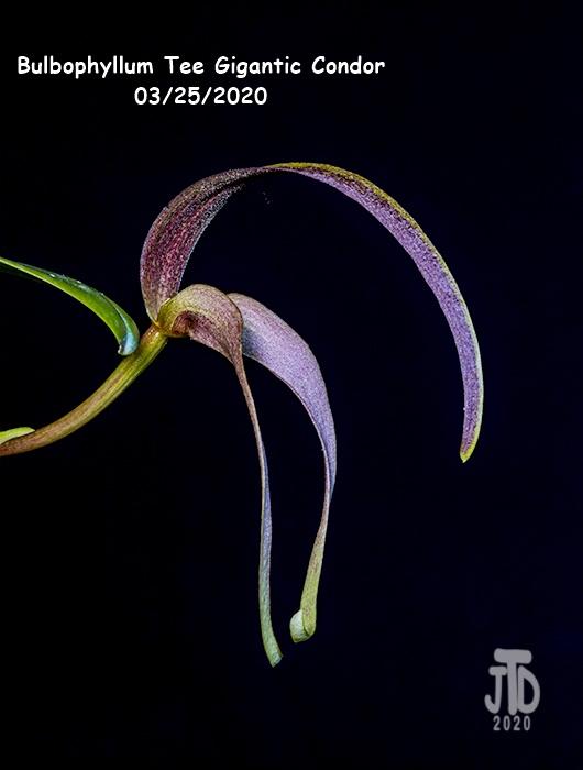 Name:  Bulbophyllum Tee Gigantic Condor3 03252020.jpg Views: 59 Size:  75.8 KB