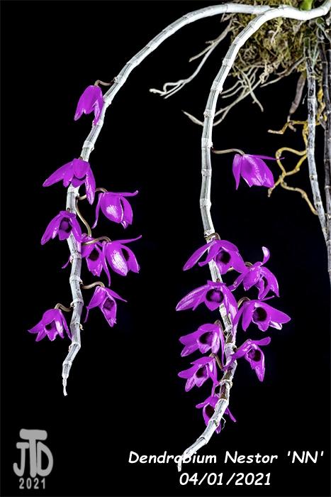 Name:  Dendrobium Nestor 'NN'3 03312021.jpg Views: 169 Size:  212.8 KB