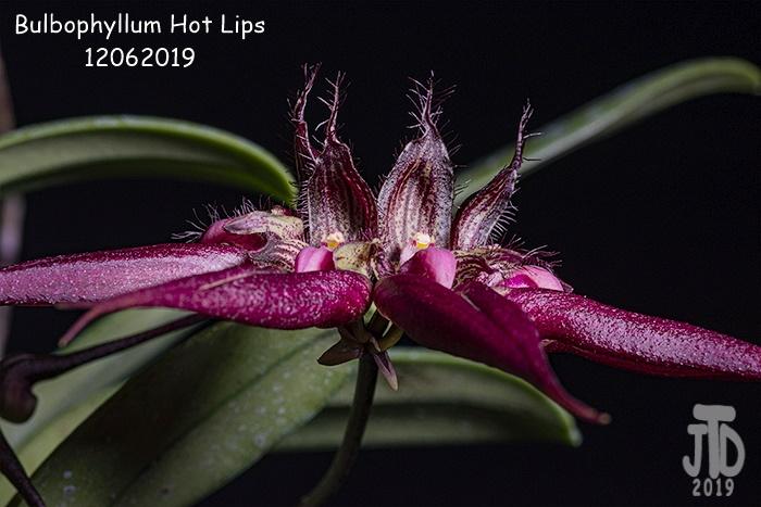 Name:  Bulbophyllum Hot Lips2 12062019.jpg Views: 701 Size:  131.4 KB