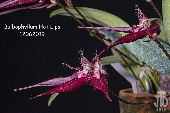 Name:  Bulbophyllum Hot Lips3 12062019.jpg Views: 92 Size:  139.3 KB