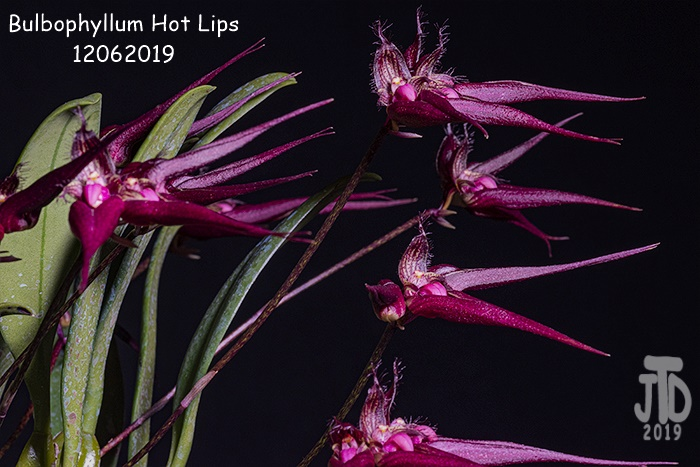 Name:  Bulbophyllum Hot Lips5 12062019.jpg Views: 87 Size:  142.8 KB