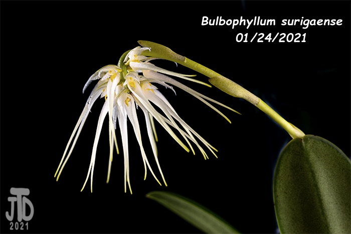 Name:  Bulbophyllum surigaense4 01242021.jpg Views: 59 Size:  141.3 KB