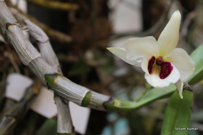 Name:  Den.albosanguineum1.JPG Views: 225 Size:  136.9 KB