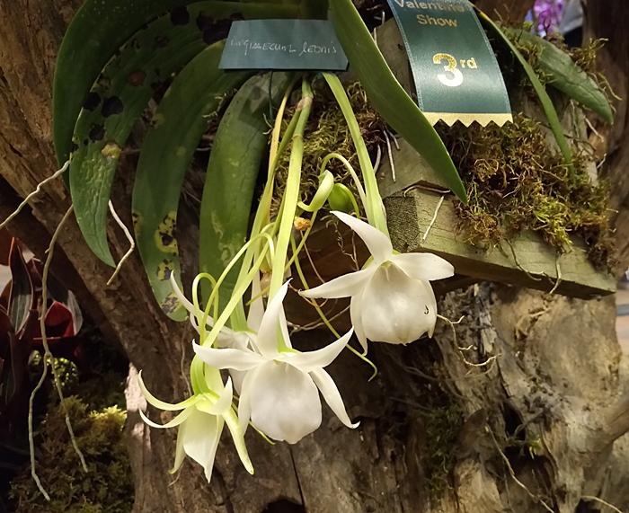 Name:  Angraceum leonis.jpeg Views: 186 Size:  258.3 KB