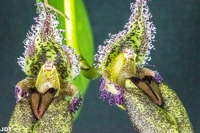 Name:  Bulbophyllum romyi260mm1 022218.jpg Views: 197 Size:  215.1 KB