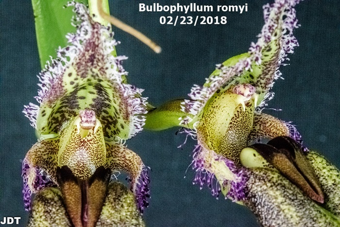Name:  Bulbophyllum romyi 100mm3 022218.jpg Views: 139 Size:  203.2 KB