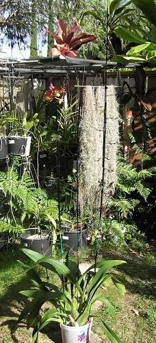 Name:  Oncidium_Sharry-Baby_plant_500.jpg Views: 312 Size:  109.9 KB