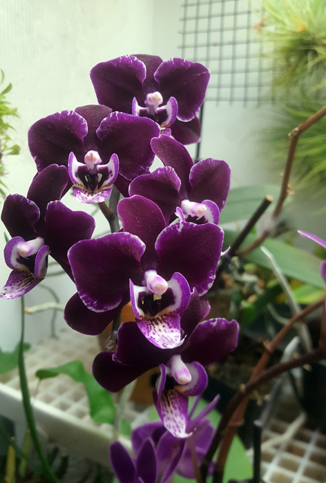 Name:  phal1.jpg