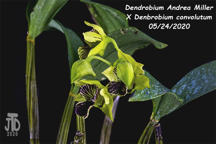 Name:  Dendrobium Andrea Miller X Dendrobium convolutum3 05242020.jpg Views: 52 Size:  147.4 KB