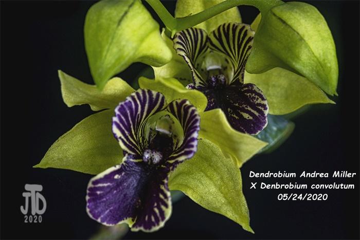 Name:  Dendrobium Andrea Miller X Dendrobium convolutum2 05242020.jpg Views: 56 Size:  147.6 KB