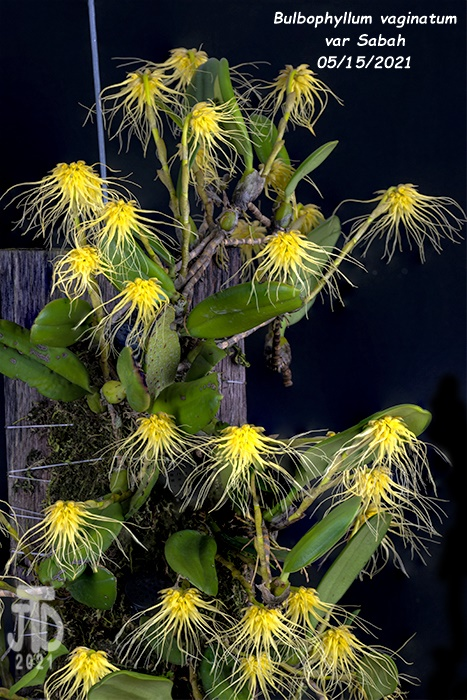 Name:  Bulbophyllum vaginatum var Sabah4 05152021.jpg Views: 48 Size:  203.9 KB